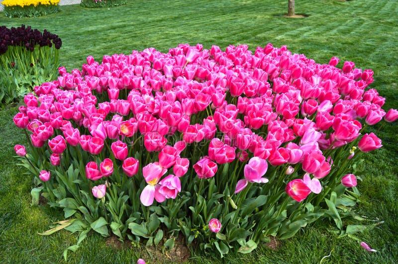 Tulipanes espectaculares rosados en la primavera Agricultura, fondo fotografía de archivo