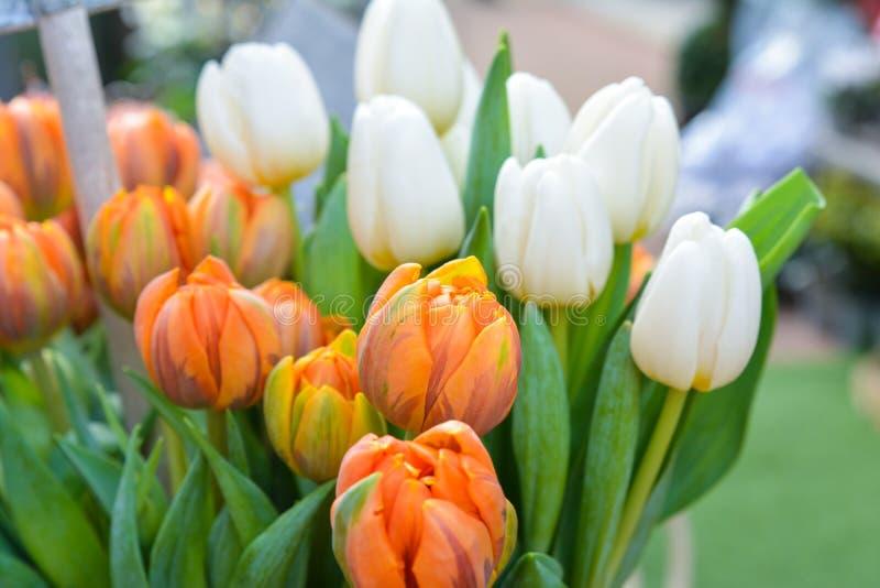 Tulipanes flor-anaranjados y blancos de la primavera fotos de archivo libres de regalías