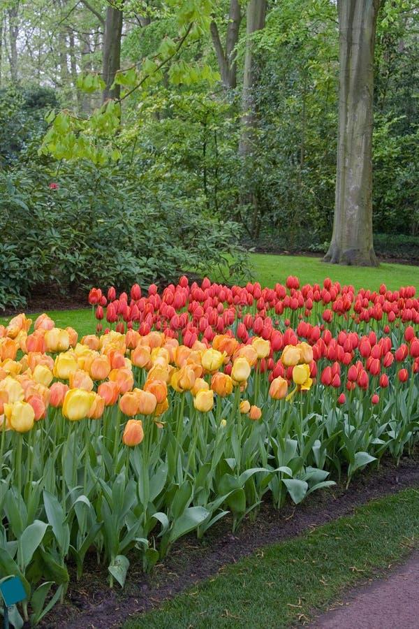 Tulipanes florecientes en un parque en Holanda, cerca de Amsterdam Primavera Una foto fotografía de archivo libre de regalías