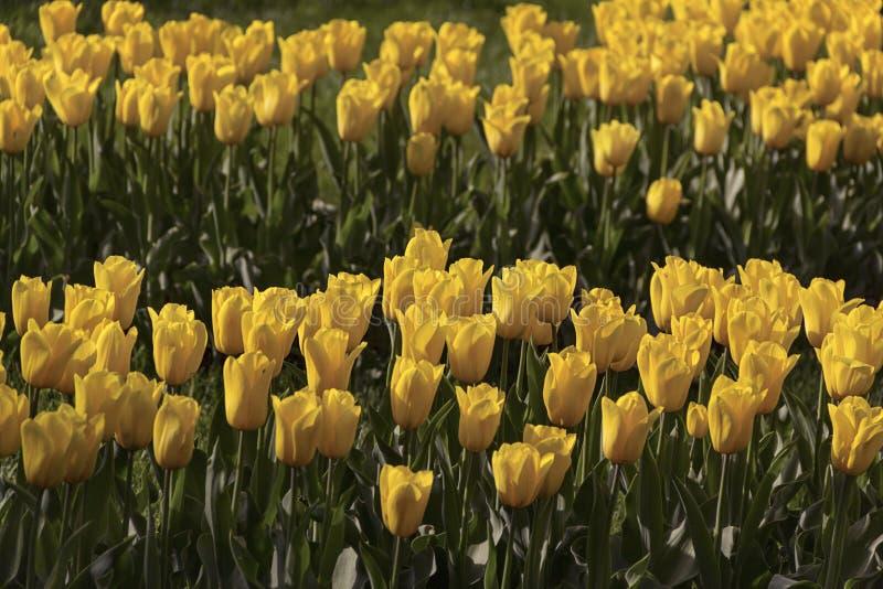 Tulipanes florecientes hermosos en el jardín en fondo de la primavera foto de archivo