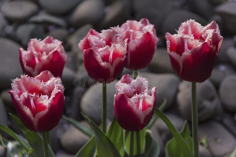 Tulipanes florecientes hermosos en el jard?n en fondo de la primavera fotografía de archivo