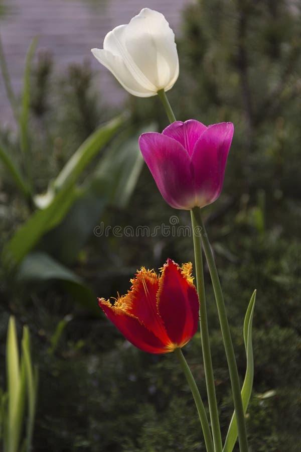 Tulipanes florecientes hermosos en el jard?n en fondo de la primavera imágenes de archivo libres de regalías