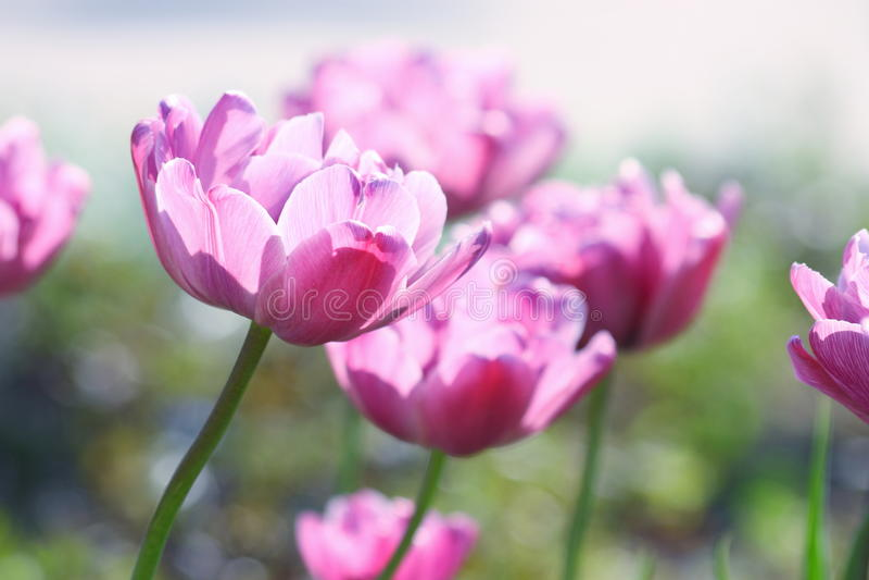 Tulipanes: Flores de las tarjetas del día de San Valentín del día de madres - fotos comunes fotografía de archivo libre de regalías