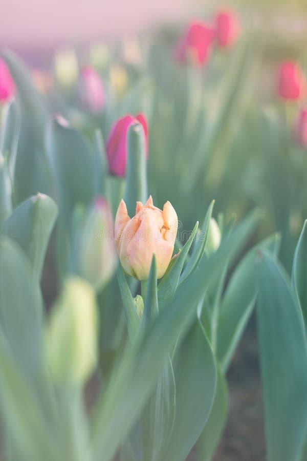 Tulipanes hermosos borrosos que florecen en jardín de la primavera fotografía de archivo libre de regalías