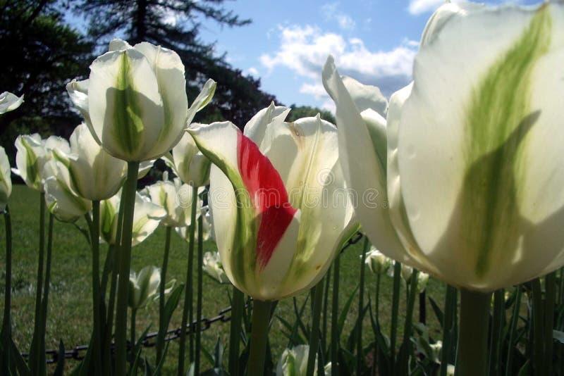Tulipanes hermosos debajo de un cielo azul fotografía de archivo libre de regalías