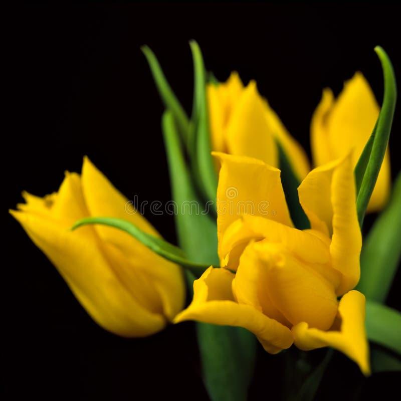 Tulipanes III imagen de archivo libre de regalías