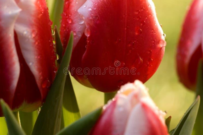 Tulipanes macros fotografía de archivo