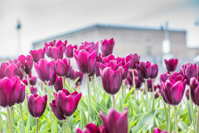 Tulipanes magentas hermosos en primero de mayo de la primavera en Estocolmo con el palacio sueco real en el fondo fotografía de archivo