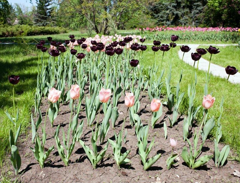 Tulipanes marrón foto de archivo
