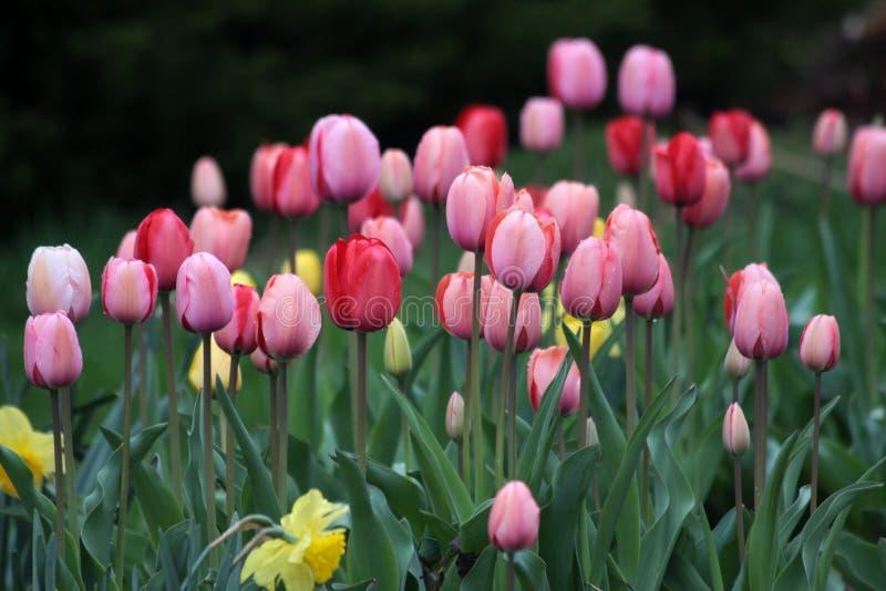 Tulipanes mojados durante día lluvioso imagen de archivo libre de regalías