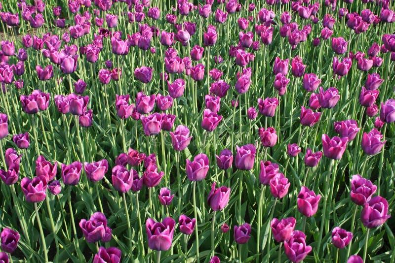 Tulipanes a montones imagenes de archivo