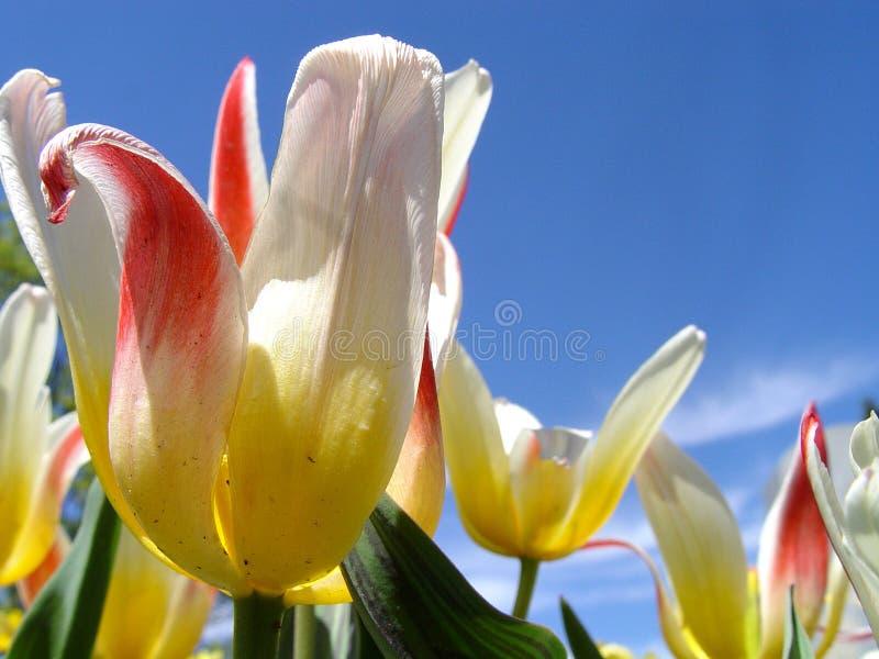 Tulipanes multicolores contra el cielo azul imágenes de archivo libres de regalías