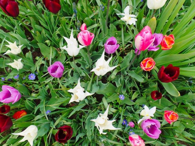 Tulipanes multicolores en el campo imágenes de archivo libres de regalías