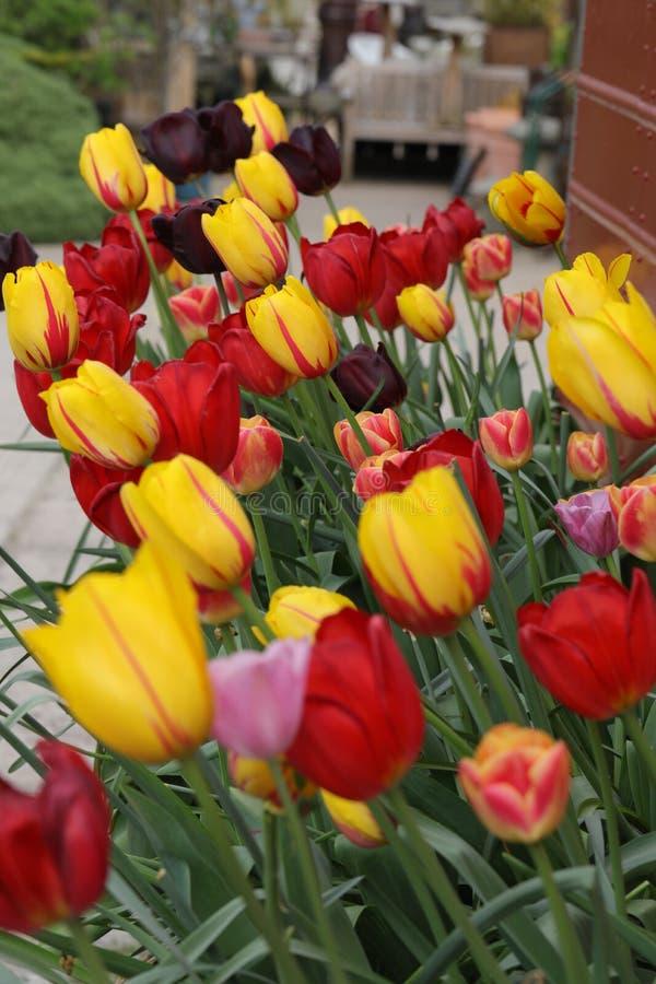 Tulipanes multicolores en la exhibición fotografía de archivo