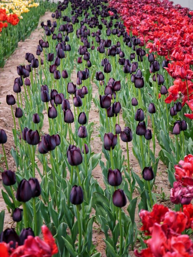 Tulipanes negros amarillos, rojos y raros vivos brillantes del color en cama de flor foto de archivo
