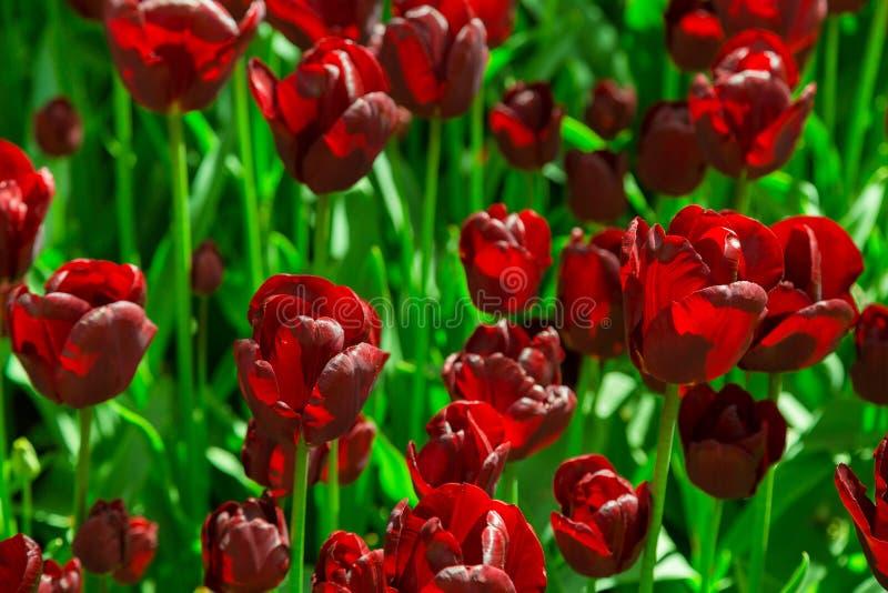 Tulipanes negros frescos en el primer del macizo de flores imagenes de archivo