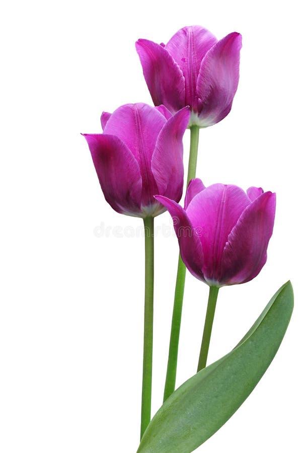 Tulipanes púrpuras fotos de archivo libres de regalías