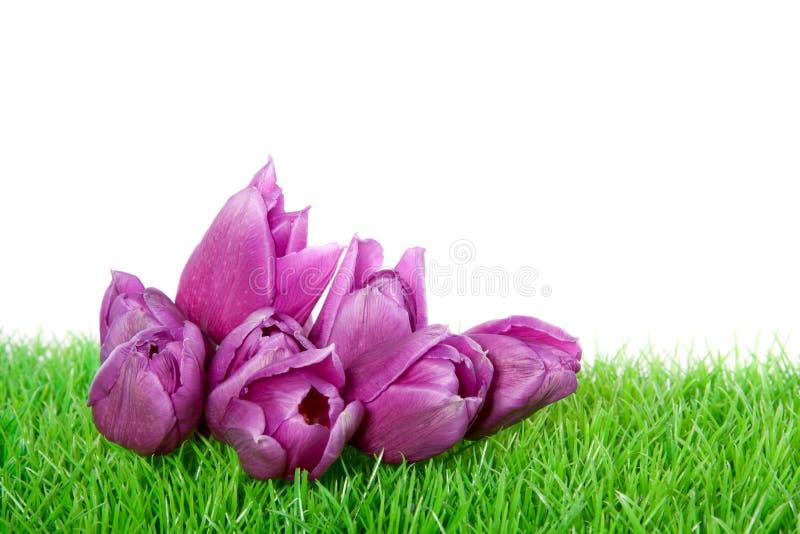 Tulipanes púrpuras adentro en un césped verde imagenes de archivo