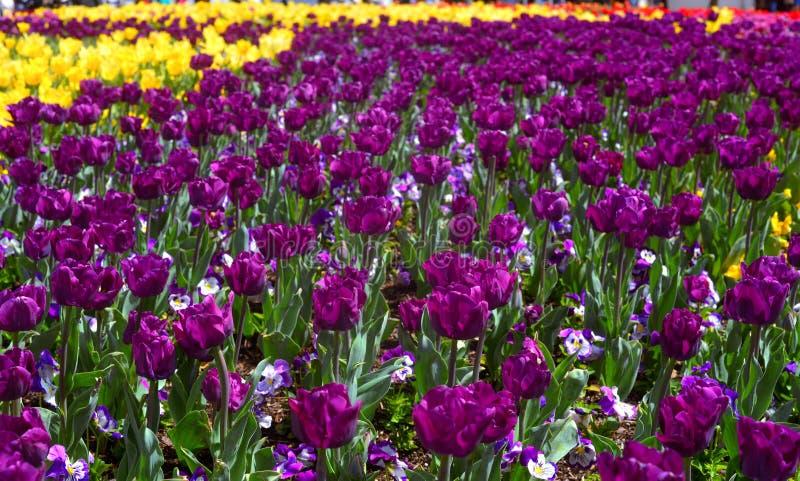 Tulipanes púrpuras coloridos en el jardín Canberra del tulipán de Floriade foto de archivo