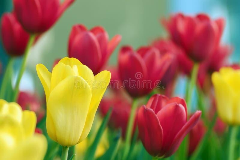 Tulipanes pintorescos amarillos y rojos en el macizo de flores, campo, flores coloridas, día de primavera soleado Fondo natural r fotos de archivo libres de regalías