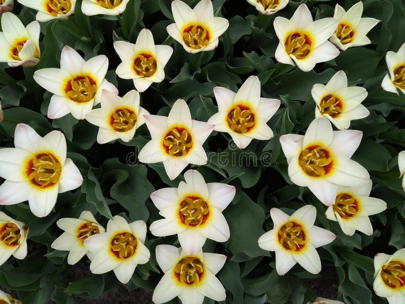 Tulipanes poner crema foto de archivo libre de regalías
