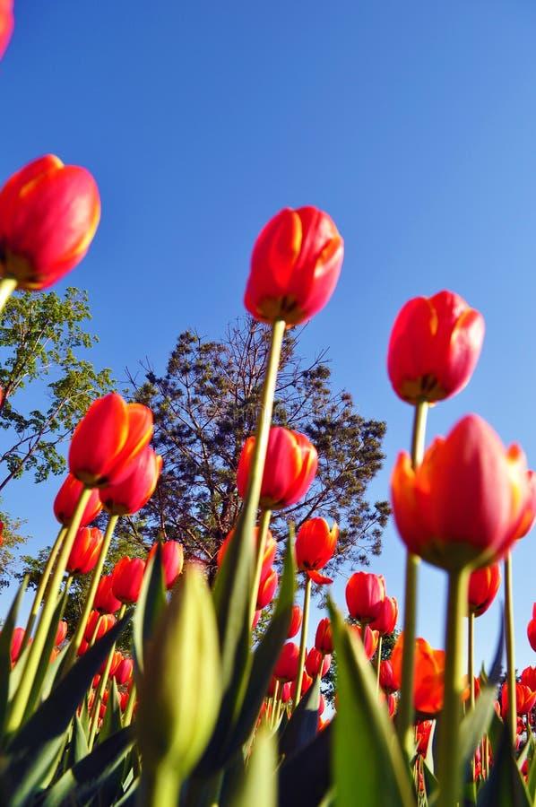 Tulipanes que suben de la tierra fotos de archivo