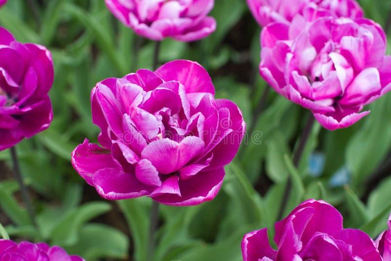 Tulipanes rizados púrpuras fotos de archivo