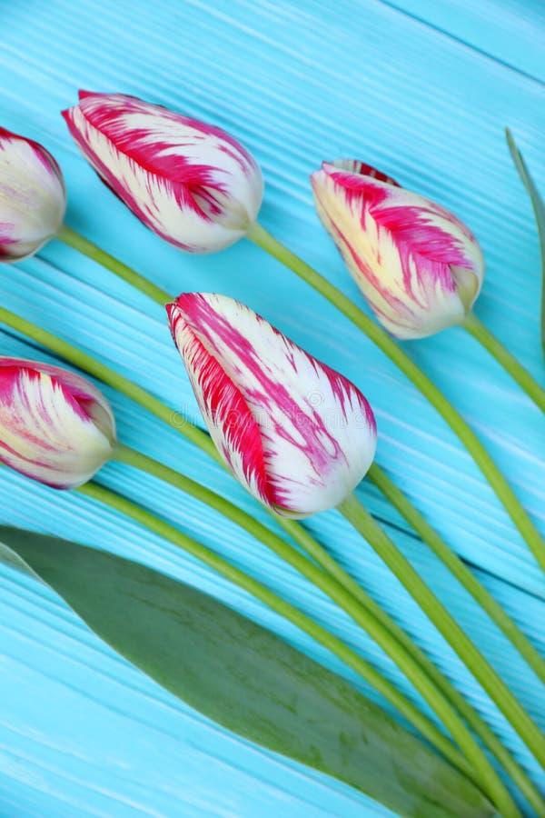 tulipanes Rojo-y-blancos en un fondo de madera azul fotografía de archivo libre de regalías