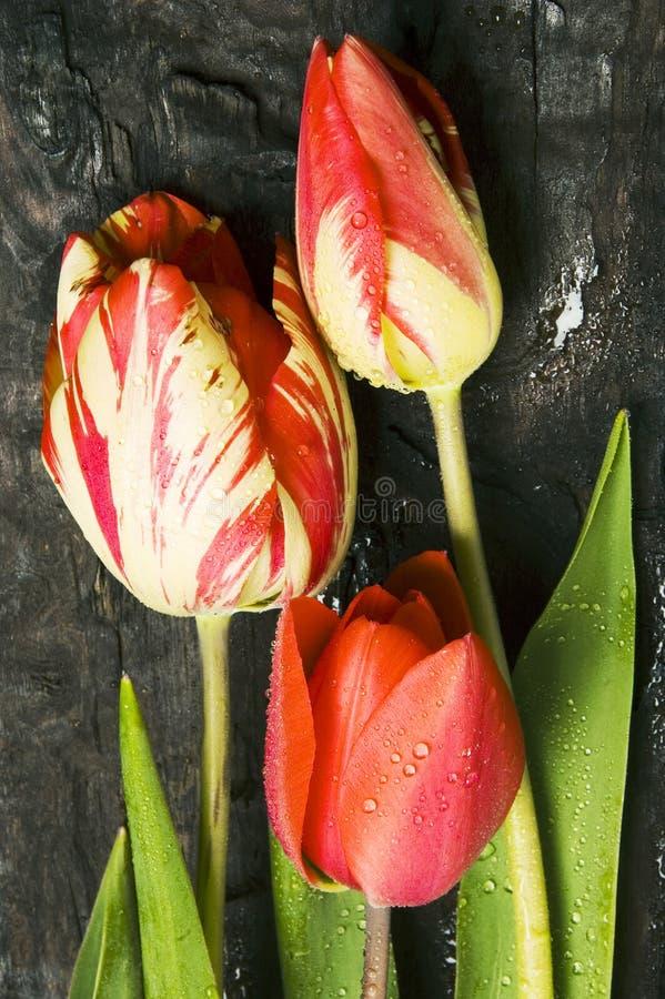 Tulipanes rojos fotografía de archivo