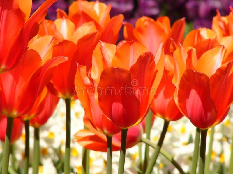 Download Tulipanes rojos foto de archivo. Imagen de jardín, belleza - 185416