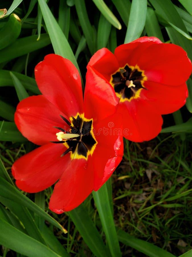 Tulipanes rojos abiertos de par en par en junio después de la lluvia foto de archivo libre de regalías
