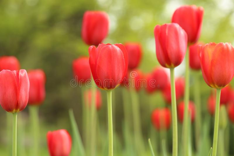 Tulipanes rojos altos en jardín de flores foto de archivo libre de regalías