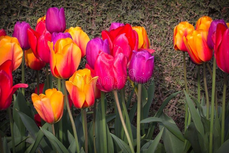 Tulipanes rojos, amarillos, púrpuras y rosados con el fondo del musgo imagenes de archivo