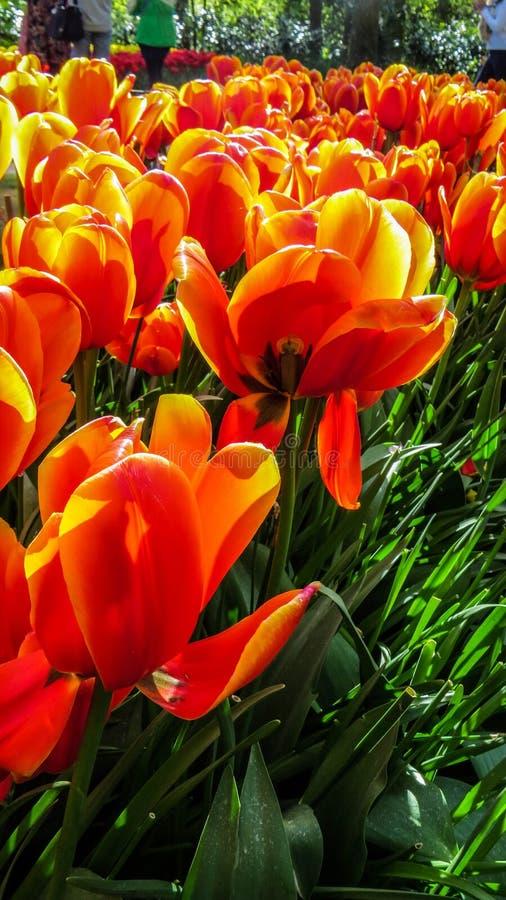 Tulipanes rojos brillantes brillantes foto de archivo libre de regalías