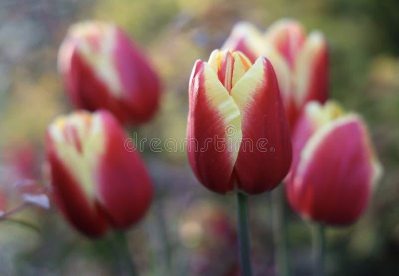 Tulipanes rojos con amarillo fotografía de archivo libre de regalías