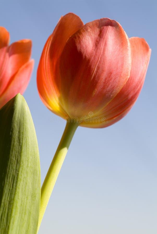 Tulipanes rojos de debajo fotos de archivo libres de regalías