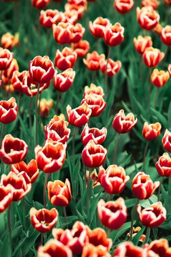 Tulipanes rojos de la primavera increíblemente hermosa en el parque de Moscú imagenes de archivo