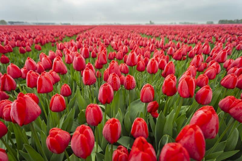 Tulipanes rojos en campo cercano para arriba de las flores 11 foto de archivo libre de regalías