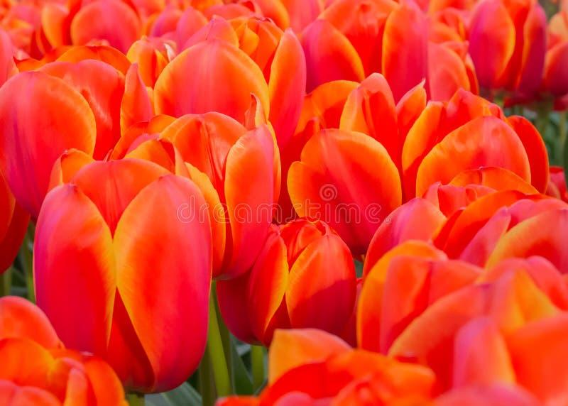 Tulipanes rojos en el jardín botánico de Keukenhof, Países Bajos fotos de archivo libres de regalías