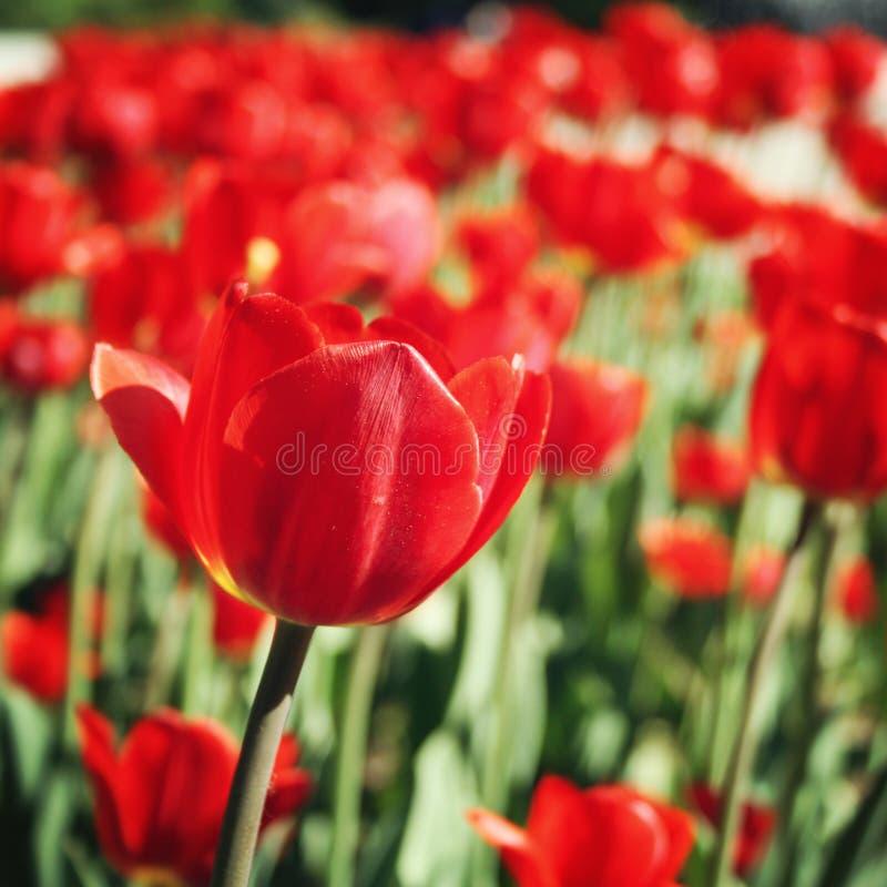 Tulipanes rojos en el macizo de flores Foto envejecida Macro imagenes de archivo