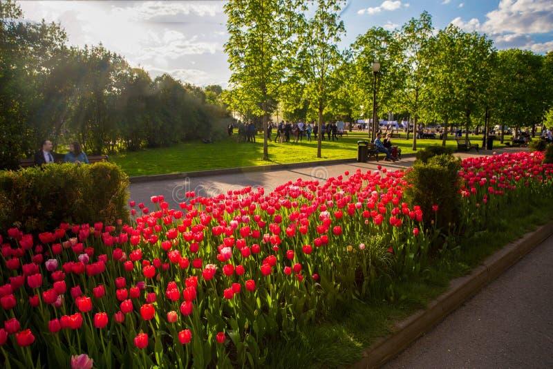 Tulipanes rojos en parque imagen de archivo libre de regalías