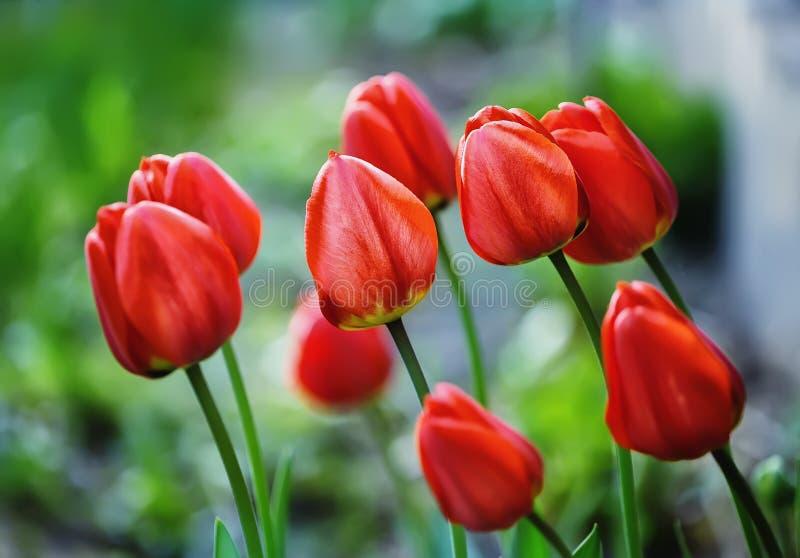 Tulipanes rojos en un macizo de flores de la primavera imagenes de archivo