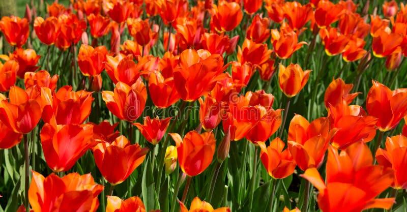 Tulipanes rojos en un parque fotos de archivo libres de regalías