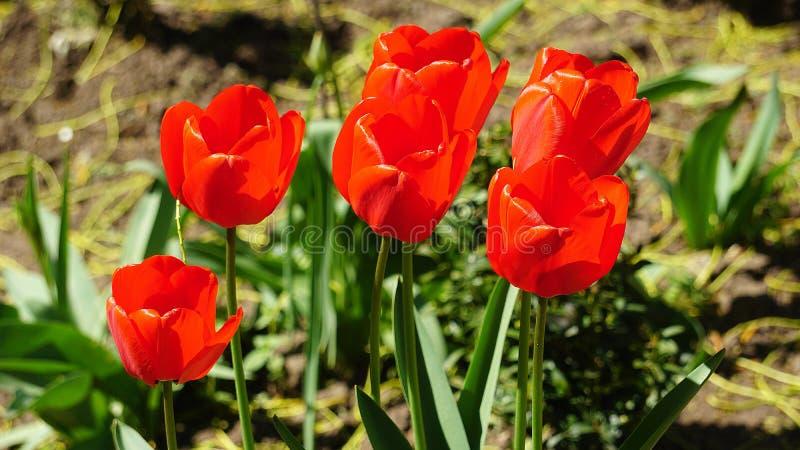 Tulipanes rojos en una cama en la primavera imagen de archivo