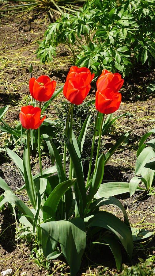 Tulipanes rojos en una cama en la primavera fotografía de archivo