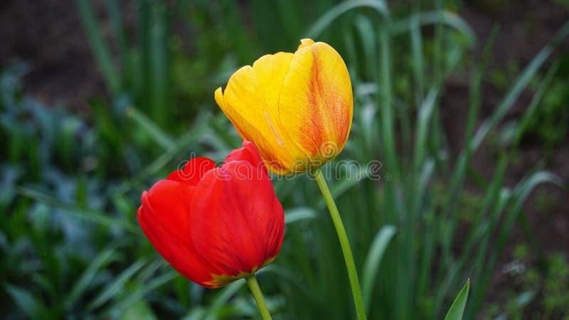Tulipanes rojos en una cama en la primavera foto de archivo