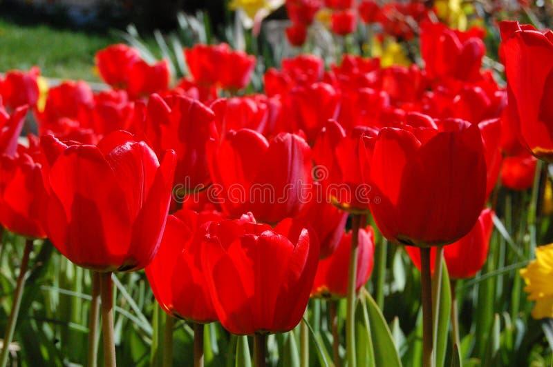 Tulipanes rojos en verano imagen de archivo