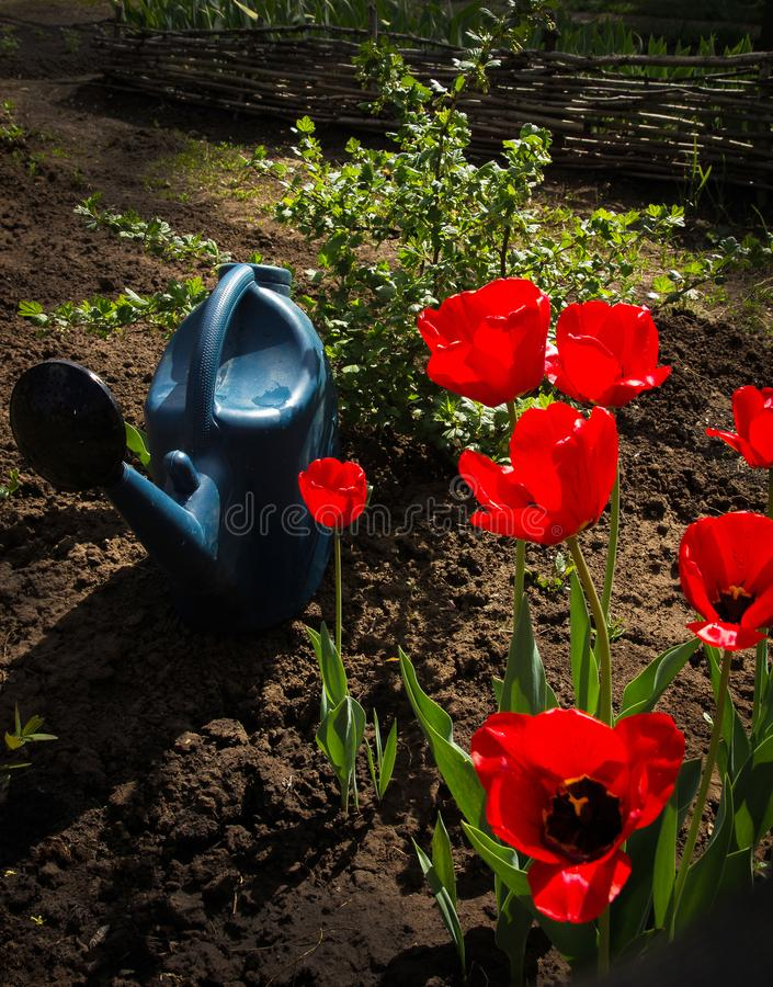 Tulipanes rojos florecientes y una regadera imagen de archivo