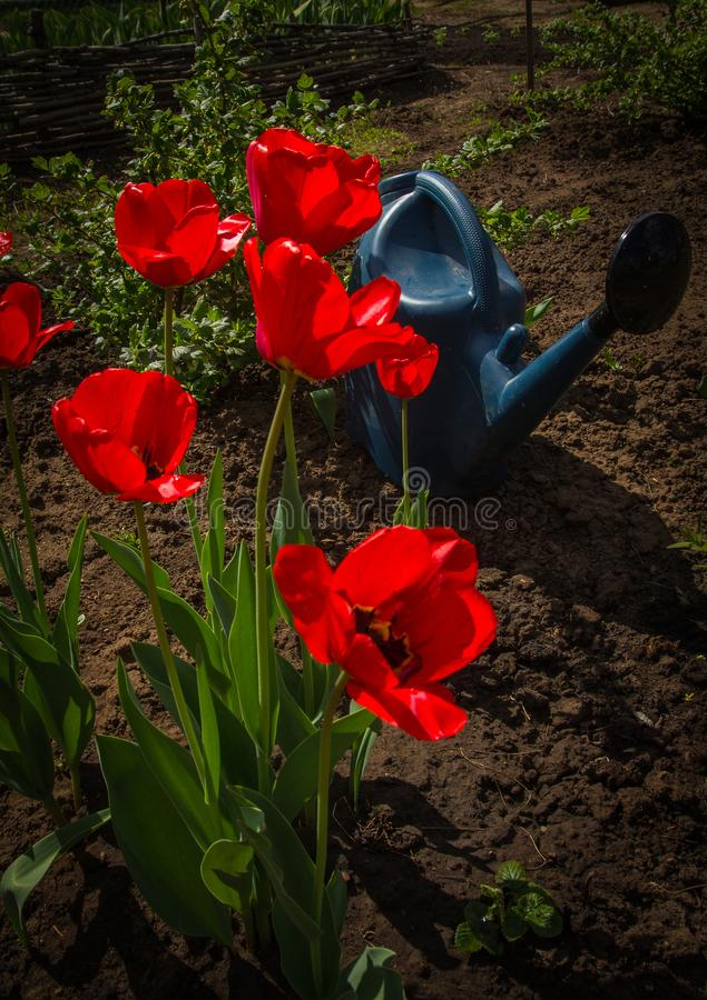 Tulipanes rojos florecientes y una regadera foto de archivo