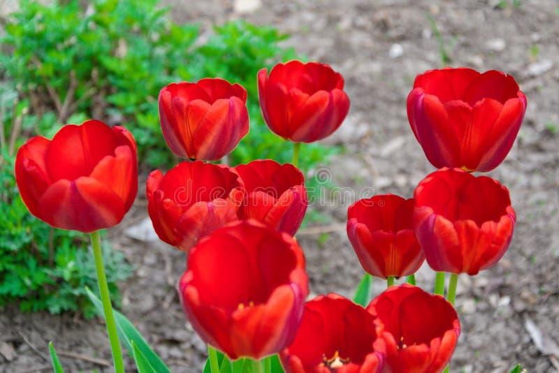 Tulipanes rojos hermosos, Darwin Hybrid Red Tulips en un macizo de flores fotografía de archivo